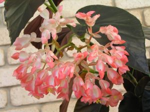 Begonia 'Convention 91'.